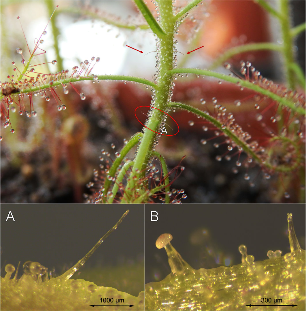 Drosera indica emergences