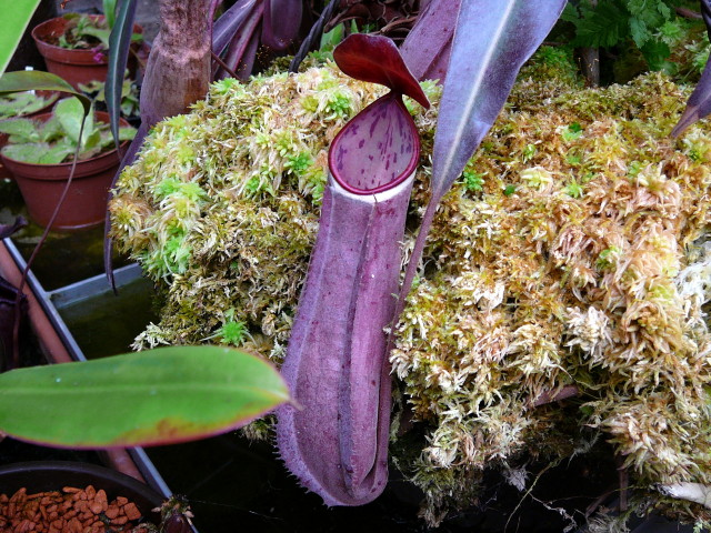 Nepenthes albomarginata red