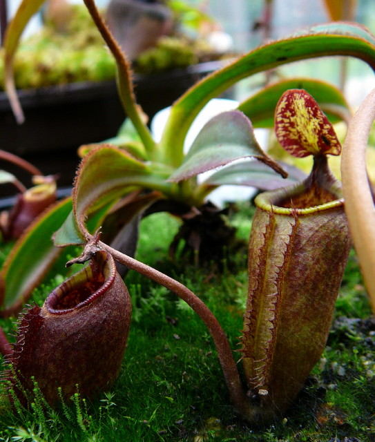 Nepenthes attenboroughii