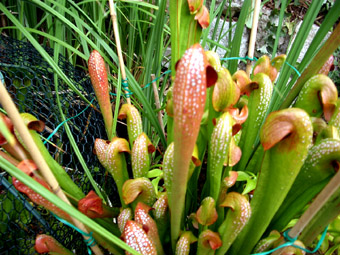 "Sarracenia minor ""Okefenokee"""