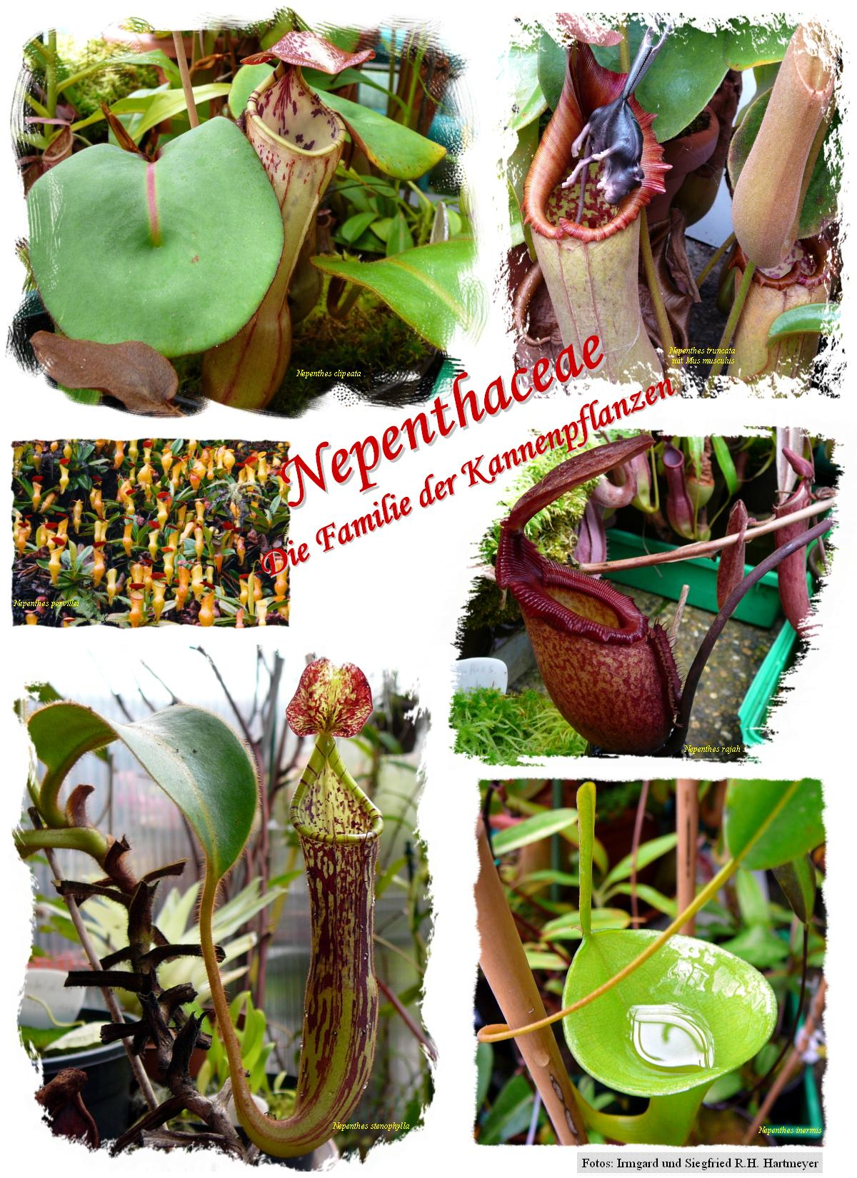 Poster Nepenthaceae