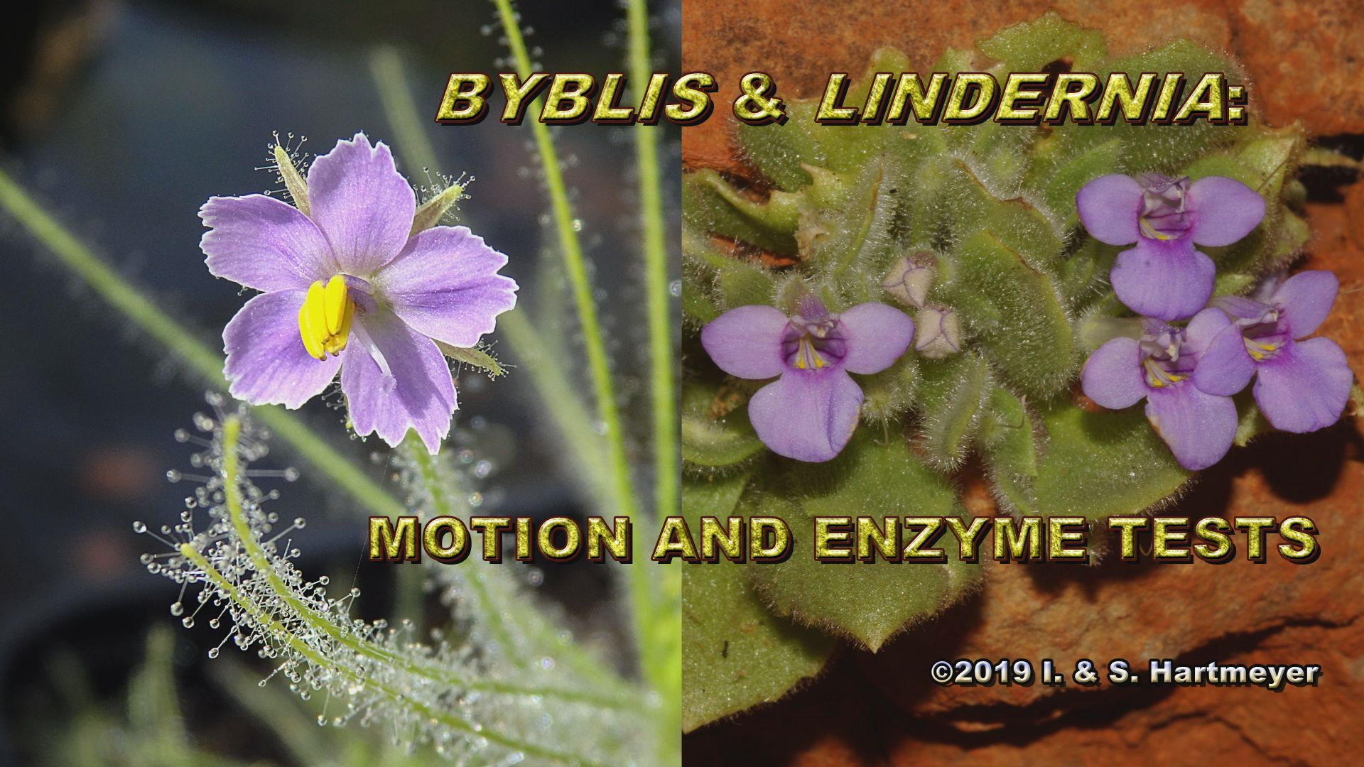 Byblis&Lindernia: Motion&Enzyme Tests