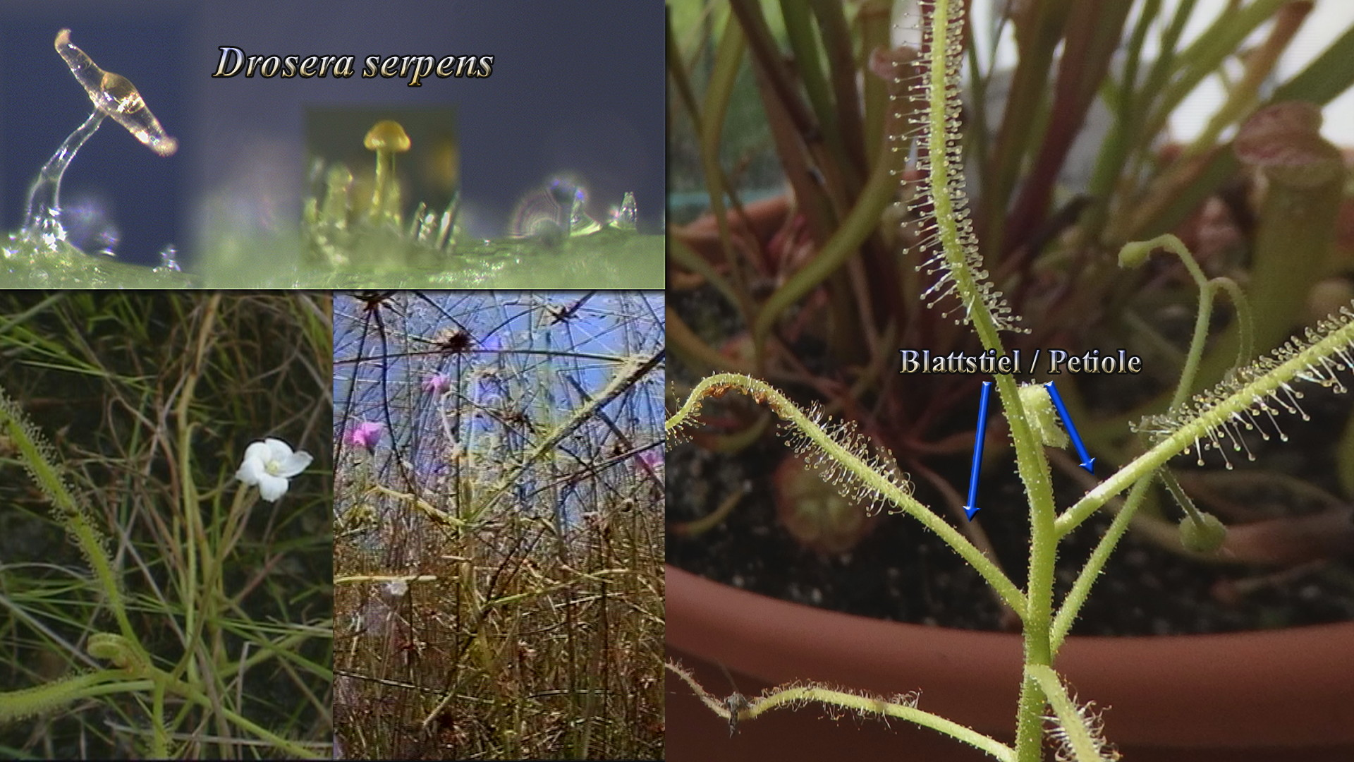 Drosera serpens Thumb